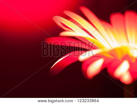 detail of a red gerbera flower in dark back