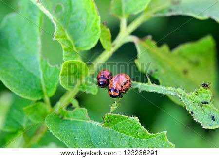 Larvae of the Colorado beetle eat potato plant