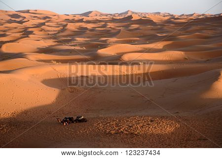 Camels At The Dunes, Morocco, Sahara Desert