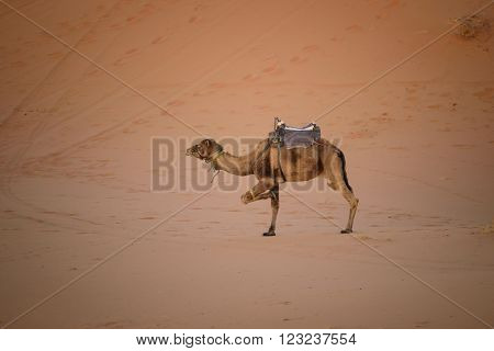 Tied Up Camel At The Dunes, Morocco