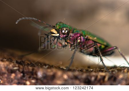 Green tiger beetle (Cicindela campestris)  eyes and jaws. An impressive hunting ground beetle in the family Carabidae, with violet, pink and green metallic colours and amazing mandibles