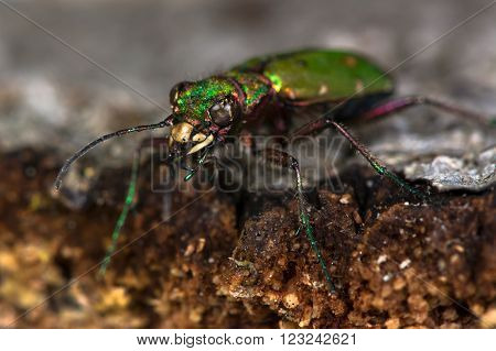 Green tiger beetle (Cicindela campestris) eyes and mandibles. An impressive hunting ground beetle in the family Carabidae, with violet, pink and green metallic colours and amazing mandibles