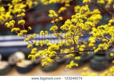 cornus flowers near traditional korean rooftiles taken during spring blossom season.