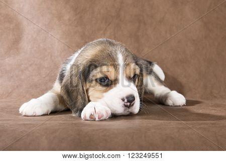 beagle puppy on brown background in studio