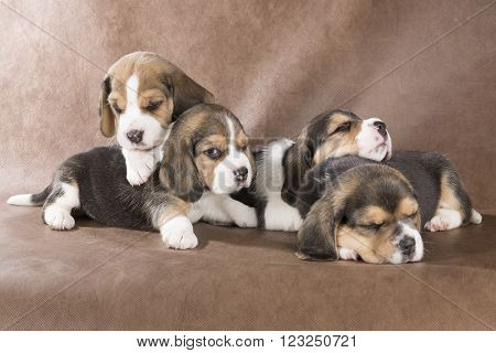 four beagle pup on a brown background