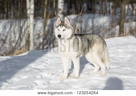 blue-eyed Siberian Husky puppy in the forest