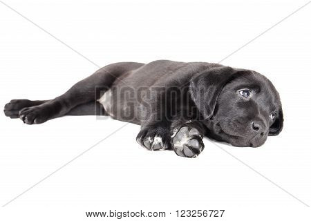 labrador puppy on a white background in studio