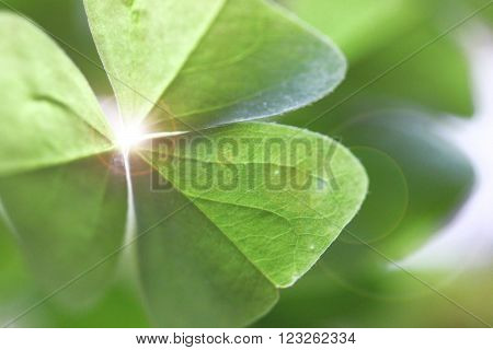 Oxalis house plant close up with sun ray
