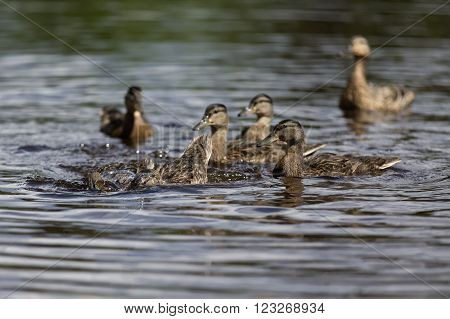 flock of ducks on the lake in summer