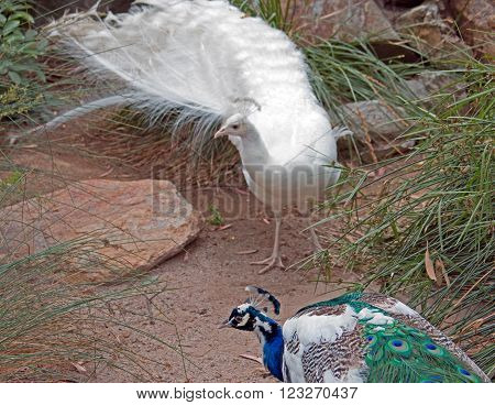 Peacock And Albino Peacock In Adelaide Australia