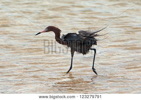 Reddish Egret (Egretta rufescens) hunting in Isla Blanca tidal waters Cancun Mexico