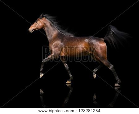isolate of the brown horse trotting on the black background