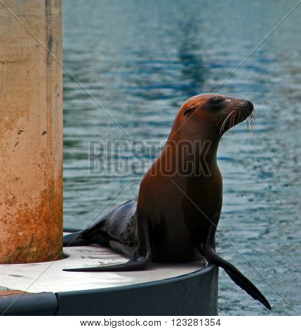 Seal on dock in Alamitos Bay in Long Beach California USA