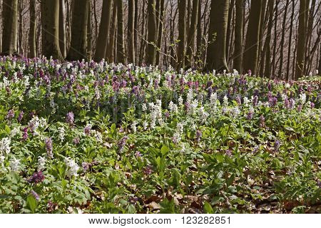 Forest with corydalis flowers in spring, Bad Iburg, Lower Saxony, Germany