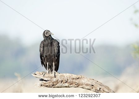 Black Vulture (Coragyps atratus) sizing up the situation
