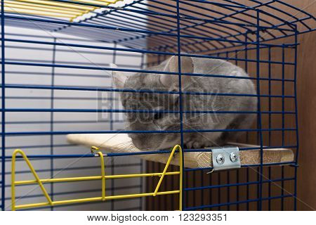 Chinchilla sitting in a metal cage has a beautiful, furry pelt poster