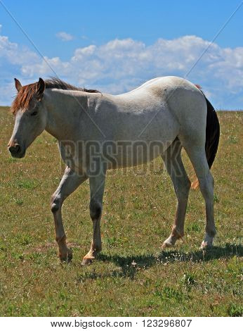 Yearling Filly Mustang Wild Horse in the Pryor Mountains of Montana USA