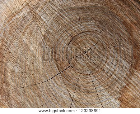 Close up of oak tree with rings and fissures.