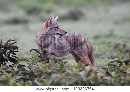 African golden wolf (Canis anthus) in natural park