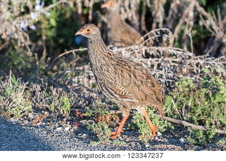 A Red-necked spurfowl, also called a Red-necked francolin, Pternistis afer, walking