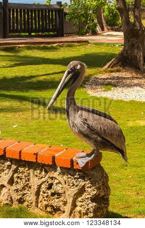 The Pelican in the Zoo - Republica Dominicana