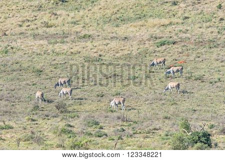 A herd of Eland, Taurotragus oryx oryx. The eland is the largest antelope on earth