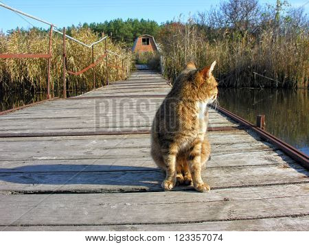 red lonely cat sitting on the old wooden ponton bridge in sunny day