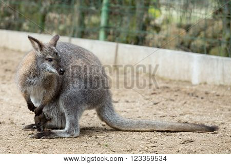 Closeup Of A Red-necked Wallaby