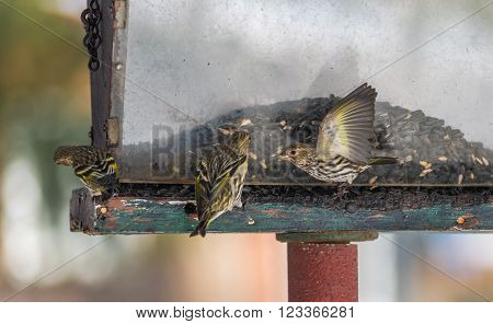 Pine Siskin finches (Carduelis pinus) - in spring competing for space and food at a feeder.  Aerobatic displays and territorial squabbling at a feeder in a northern Ontario woods.