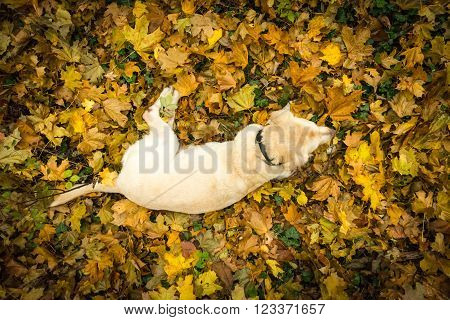 View from above at the yellow Labrador Retriever lying in the leaves in the forest in autumn