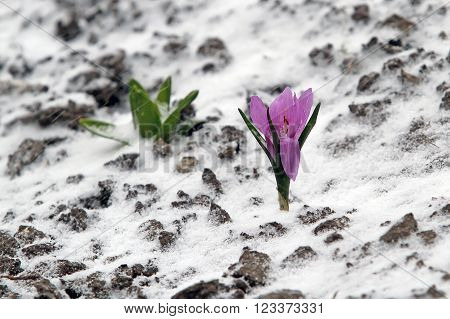 Early Spring Purple Crocus Bloom, But Suddenly He Returned To The Winter And The Snow Fell. Never Gi