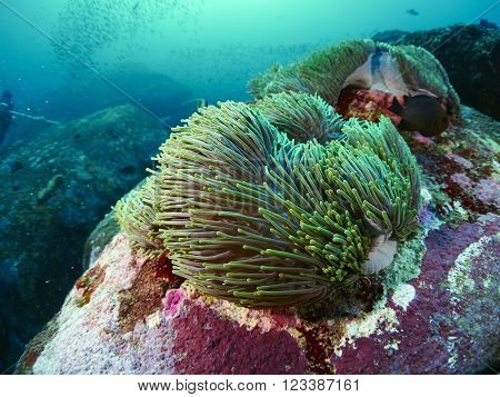 diver with beautiful reef coral in Similan Thailand