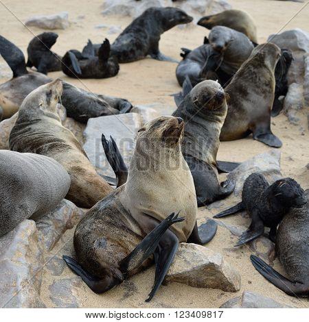 Cape Fur Seal, Namibia
