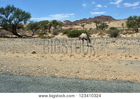 A Gemsbok (Oryx gazella) goes along the tar road in the Namib desert Namibia Africa