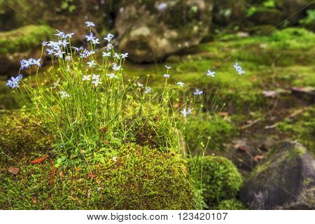 Creeping Bluet flowers and moss on a rock near Cumberland River in Southern Kentucky