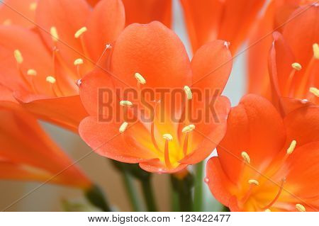 Amaryllidaceae, clivia flower macro. Flower background and detail.