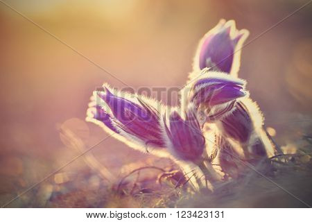 Spring background with meadow and blossoming flowers. Pasque Flowers - Pulsatilla grandis. Fine blurred natural background color.
