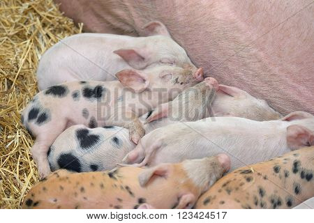 young piglet sleep on hay at farm