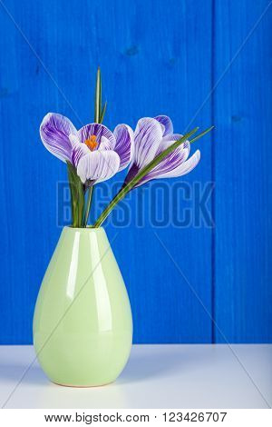 Crocus flowers of Pickwick cultivar in small green vase in front of blue wall