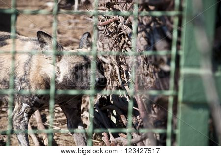 African Wild Dog In Zoo