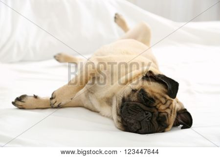 Pug dog playing in bed