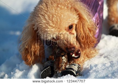 Red poodle clothing on the snow gnawing stick