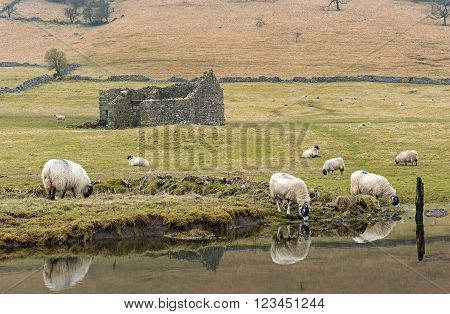Sheep grazing on the Yorkshire Dales near Kettlewell on the Dales Way footpath in the Yorkshire Dales National Park, a popular location for tourists and walkers visiting the park.
