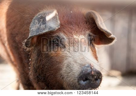Head Of A Dirty Pig With Wire In His Nose