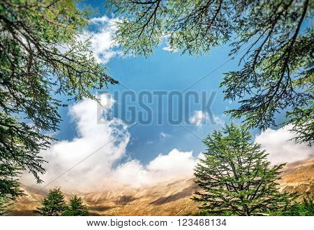 Cedars of Lebanon, beautiful ancient cedar tree forest in the mountains over blue sky background, amazing Lebanese nature, peaceful landscape of a National Park Reserve, North of Lebanon