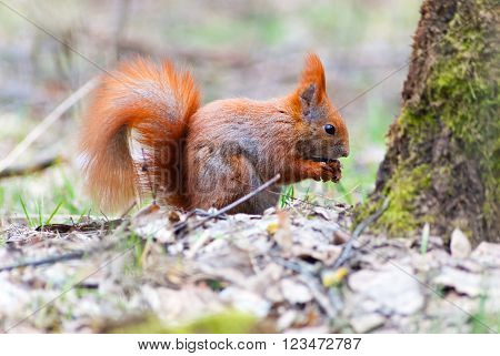 Wild red squirrel eating a nut in the woods ** Note: Visible grain at 100%, best at smaller sizes