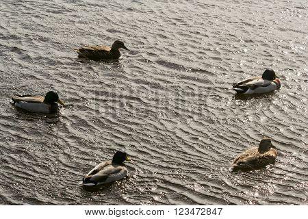 Five ducks swimming in the river Dee in Scotland