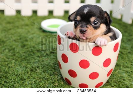 Lovely Chihuahua Puppy Inside A Pot On A Grass