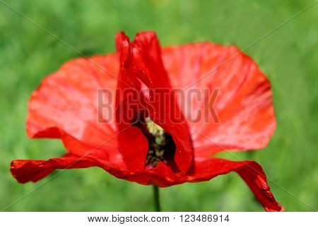 beautiful flower of red poppy in the bed