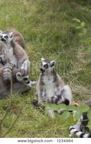 Lemur Community